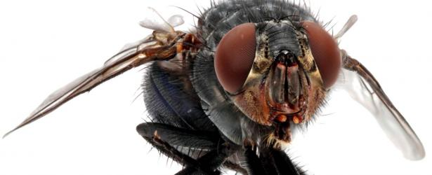 Close-up photo of a blowfly