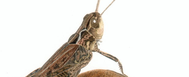 Large image of a grasshopper